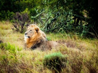 Lion In South Africa On Safari