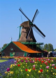 Windmill And Tulpis In Holland