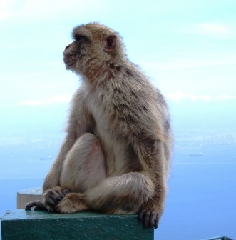 Monkey In Gibralter