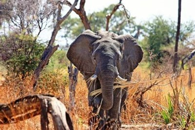 Watch Elelphants On Safari During A School Sports Tour To South Africa