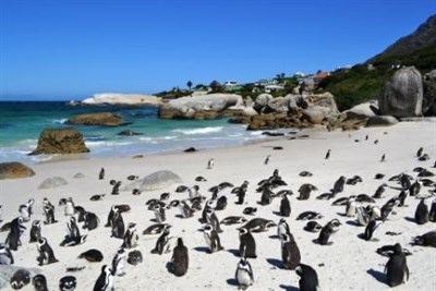 Penguin Colony In South Africa